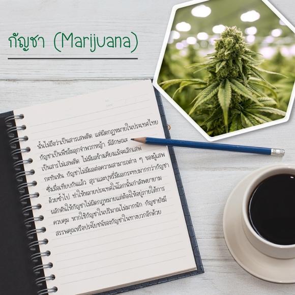 กัญชาภาษาอังกฤษเรียกว่า Marijuana